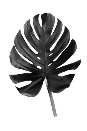 Black leaf of a tropical flower monstera isolated on white background. Ideal for print canvas home decoration.