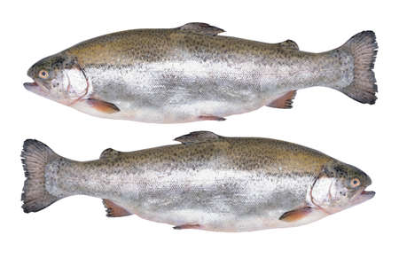 Close-up of two fresh rainbow trout isolated on a white background without shadows