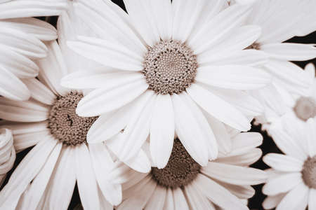 Close-up view of blooming pyrethrum flowers in the garden. Image in monochromatic version and sepia toned Standard-Bild