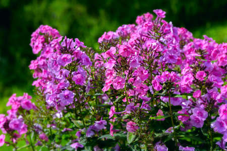 Bush of blooming Phlox Paniculata Pink Flame flowers in the garden on a sunny day Stock fotó