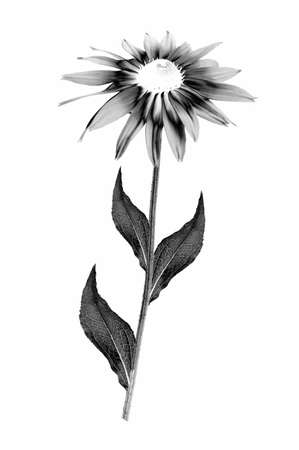 Digitally modified image of blooming Rudbeckia flower with a stem and leaves isolated on white background. Solarization black and white effect. Stock Photo