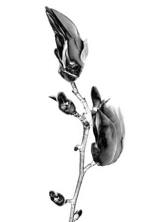 Digitally modified image of early spring blooming magnolia buds isolated on a white background. Solarization black and white effect. Stock fotó