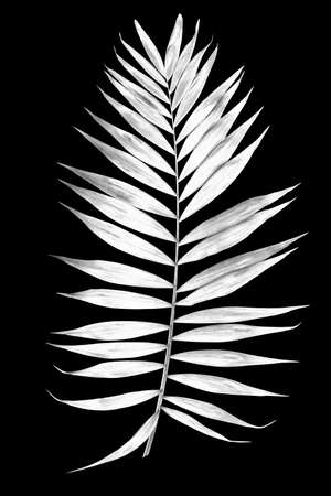 Tropical leaf of palm tree isolated on a balck background. Image digitally modified with sollarization black and white effect. Stock Photo