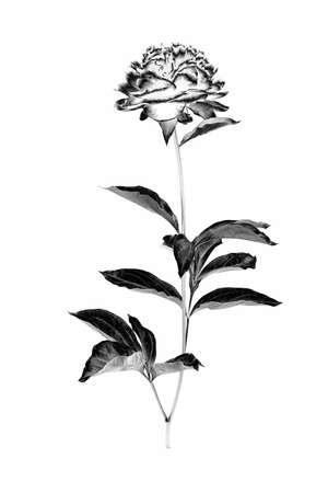 Peony flower with branch and leaves isolated on a white background. Image digitally modified with solarization black and white effect. Stock Photo