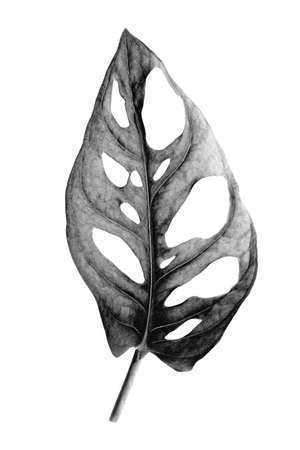 Tropical leaf of Monstera Adansonii also called Monstera Monkey isolated on a white background. Image digitally modified with solarization black and white effect.