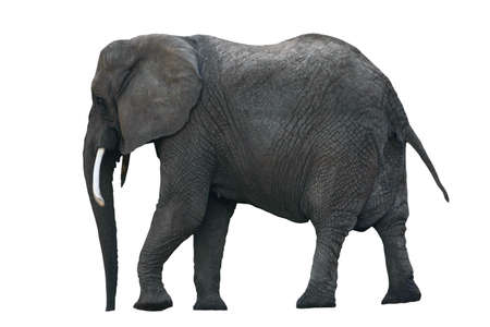 Side view of African Elephant isolated on a white background without shadows.