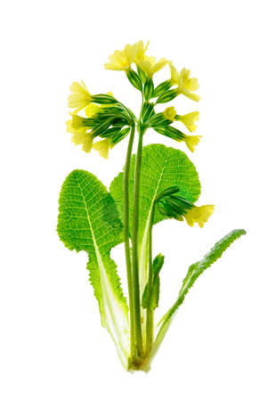 Early spring flower of Primula Veris - Cowslip isolated on a white background. Stock Photo