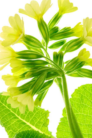 Early spring flower of Primula Veris Cowslip in close-up a white background. High resolution image ideal for interior decoration in Healing by Design Nature Fine Art Style