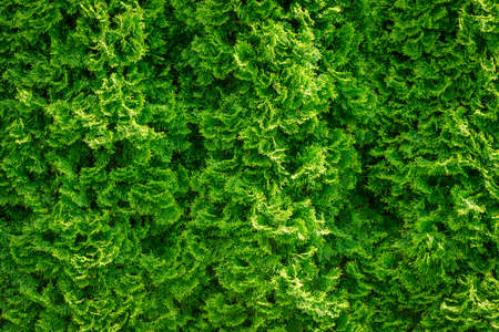 Full frame background of green coniferous hedge with cypress bushes in close-up. High resolution image ideal for interior decoration in  Healing by Nature Fine Art Design Style.