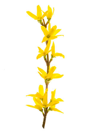 Isolated branch of blooming forsythia flowers on a white background.