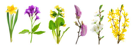 Set of spring flowering plants: narcissus, anemone, primrose, magnolia, apple tree and forsythia isolated on a white background. High details studio shot image. Stock Photo