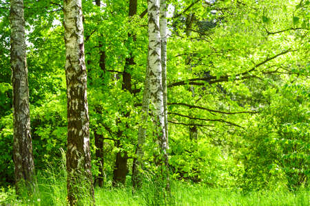 Fresh green birch forest in summer spring day. High resolution image ideal for interior decoration in Healing by Nature Fine Art Design Style.