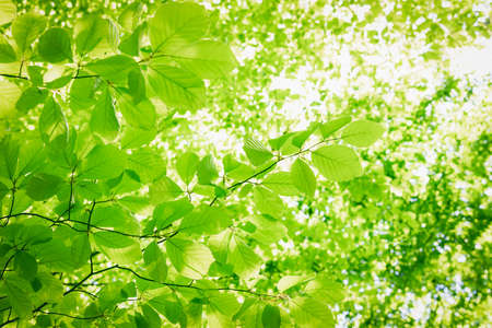 Full frame background of fresh green leaves in a crown of a beech tree with deep sun backlight. High resolution image ideal for interior decoration in Healing by Nature Fine Art Design Style.