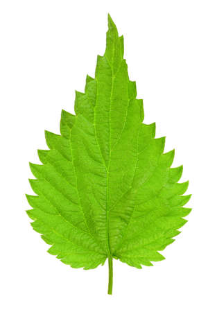 Single green leaf of a young nettle isolated on a white background. High details studio shot image.