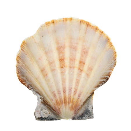Close-up of a seashell isolated on a white background. High details studio shot image. Stock Photo
