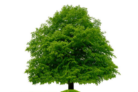 Single big linden beech tree isolated on a white background. High details image. Stock Photo