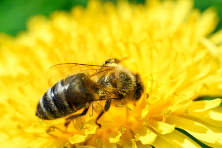 Macro shot of a honey bee collecting pollen of dandelion flower. High resolution image, perfect for interior decoration in Healing by Nature Fine Art Design style.