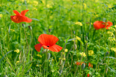 Beautifully blooming red poppies on green wild meadow on a sunny day. High resolution image, perfect for interior decoration in Healing by Nature Fine Art Design style.