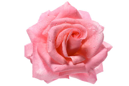 Perfect blooming head of a fresh pink rose with dew drops isolated on a white background. High details studio shot image.