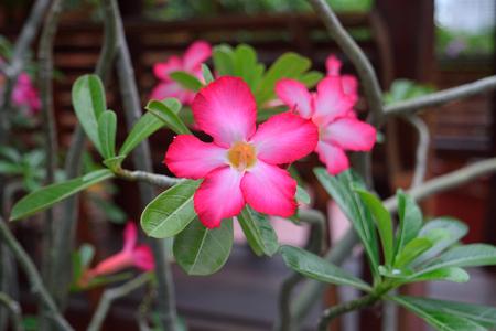 obesum: Pink Adenium obesum Stock Photo