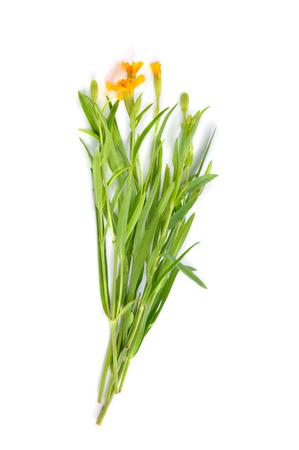 tarragon: Tarragon herbs isolated on white background