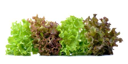 lechugas: lechuga de roble rojo y verde sobre fondo blanco. Foto de archivo