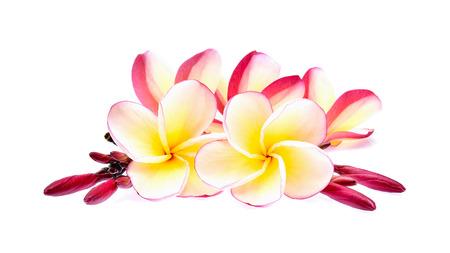 tahitian: frangipani isolated on white background Stock Photo