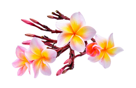 frangipani isolated on white background Banco de Imagens