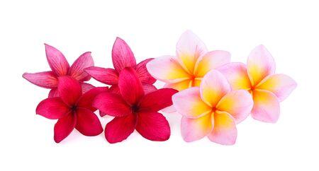 frangipani flowers isolated on white background Фото со стока