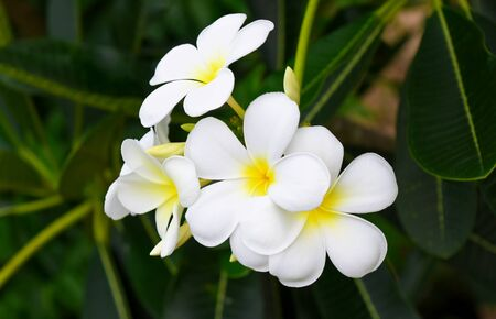 white and yellow tropical frangipani or plumeria blossom with green leaves Zdjęcie Seryjne