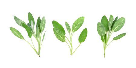 Sage herb isolated on white background Standard-Bild