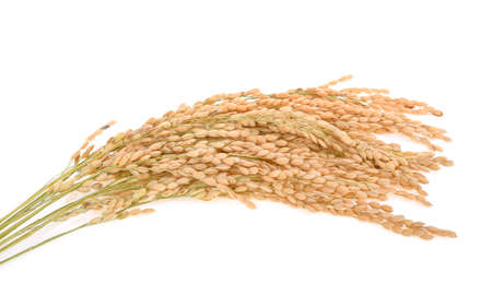 Ears of japanese rice isolated on white background