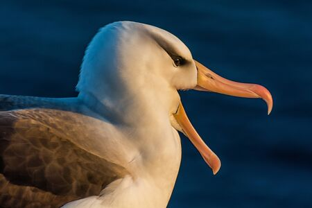 Albatross on the coast of Helgoland Banque d'images
