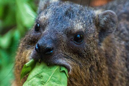 head of a rock hyrax