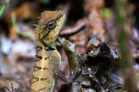 A lizard in Southeast Asia
