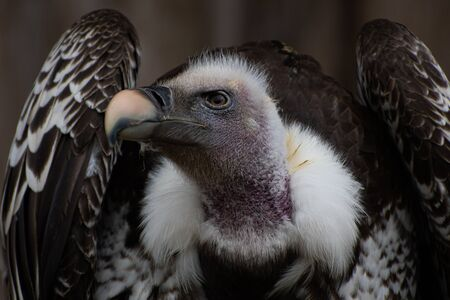 Portrait of a beautiful vulture
