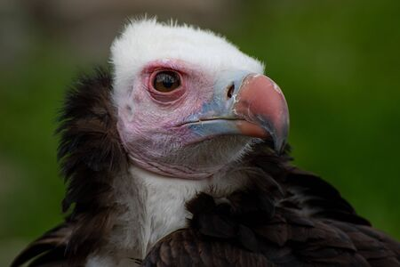 Portrait of a beautiful woolly vulture Imagens
