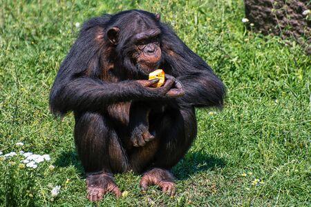 A chimpanzee eats an apple Stock Photo