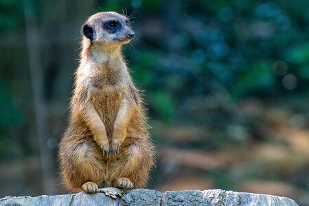 Sitting meerkat on a tree trunk Foto de archivo