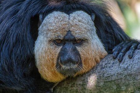 Saki monkey leans on a tree trunk