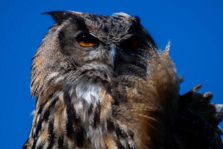 An eagle owl against a blue sky