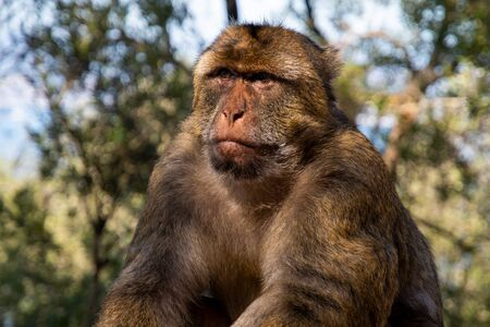 Barbary Macaque on the Rock of Gibraltar Imagens