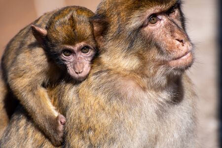 Barbary Macaque with baby on Gibraltar rock