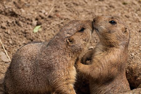 Two black-tailed prairie dogs in their burrow