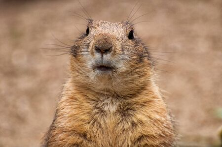 Close-up of black-tailed prairie dog's head