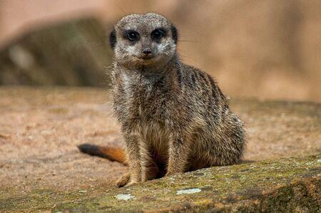 Close-up of a meerkat's head