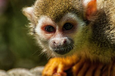 Close-up of the head of a squirrel monkey