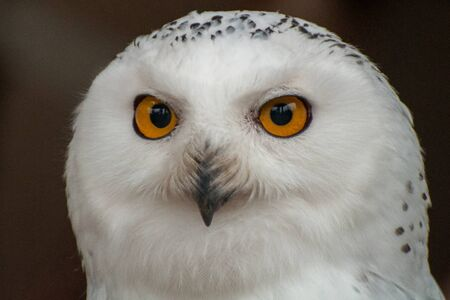 The head of a white snowy owl
