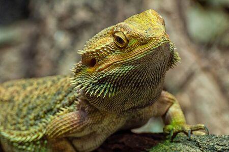 The head of a bearded dragon