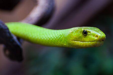 The head of a green mamba
